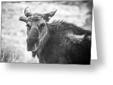 Bull Moose Greeting Card