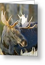 Bull Moose Up Close Greeting Card
