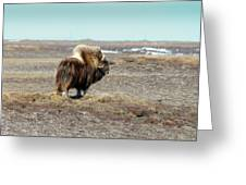 Bull Musk Ox Greeting Card