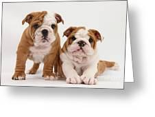Bulldog Puppies Greeting Card