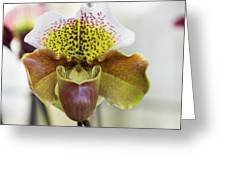 Bulldog Type Paphiopedilum Greeting Card