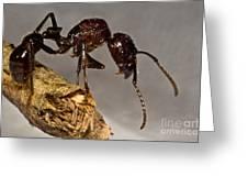 Bullet Ant Greeting Card