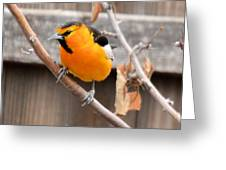 Bullock's Oriole Greeting Card