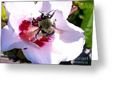 Bumble Bee Making His Escape From Hibiscus Flower Greeting Card