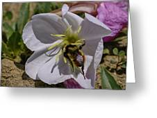 Bumble Bee On Wild Primrose 1 Greeting Card