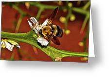 Bumblebee On A Hardy Orange Blossom 002 Greeting Card