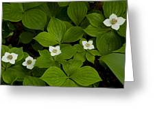 Bunchberry Blossoms Greeting Card