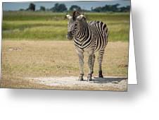 Burchell's Zebra On Grassy Plain Facing Camera Greeting Card