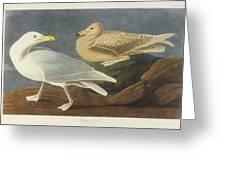 Burgomaster Gull Greeting Card