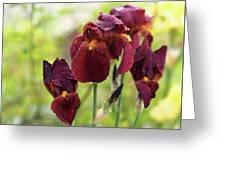 Burgundy Bearded Irises In The Rain Greeting Card by Rona Black