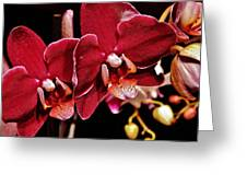 Burgundy Orchids Greeting Card