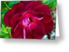 Burgundy Red Rose At Pilgrim Place In Claremont-california  Greeting Card