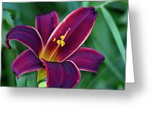 Burgundy Wine Red Daylily Greeting Card