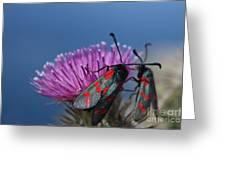 Burnet Moths Greeting Card