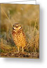Burrowing Owl At Dawn Greeting Card