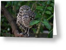 Burrowing Owl Color Version Greeting Card