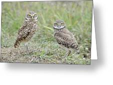 Burrowing Owls Nesting Greeting Card