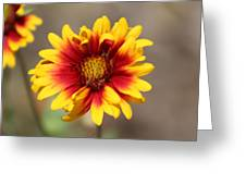 Butter Yellow And Crimson Red Coneflower Greeting Card
