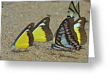 Butterflies Puddling Greeting Card