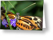 Butterfly 2 Eucides Isabella Greeting Card