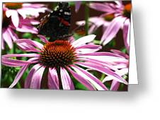 Butterfly And Pink Cone Flower Greeting Card