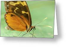 Butterfly Eueides Isabella Greeting Card