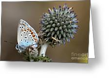 butterfly on a Echinops adenocaulon Greeting Card