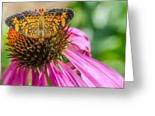 Butterfly On Echinacea  Greeting Card