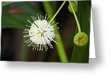 Button Bush Greeting Card