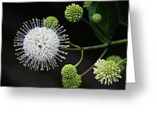 Buttonbush Flowers Greeting Card