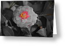 Bw Pink Rose Greeting Card