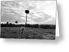 Bw Thistle  Greeting Card