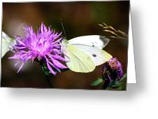 Cabbage Butterflies On Spotted Knapweed Greeting Card