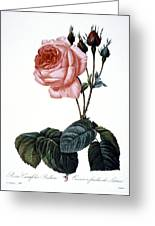 Cabbage Rose Greeting Card