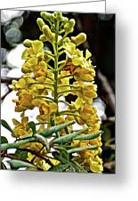 Caesalpinia Cacalaco In Huntington Desert  Gardens In San Marino-california  Greeting Card