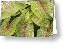 Caladium Leaves Greeting Card