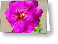 Calandrinia Flower Greeting Card