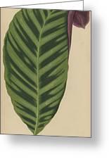 Calathea Zebrina, Maranta Zebrina Greeting Card