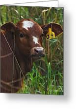 Calf Nineteen Greeting Card