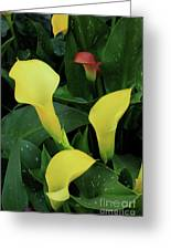 Cali Lilies Greeting Card