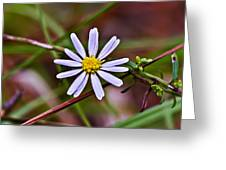 Calico Aster Greeting Card