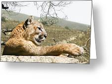 California Cougar Greeting Card