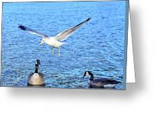 California Gull - Canada Geese Greeting Card