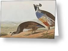 California Partridge Greeting Card