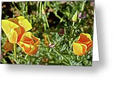 California Poppies In Mariposa, California Greeting Card