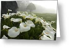 Calla Lilies Zantedeschia Aethiopica Greeting Card