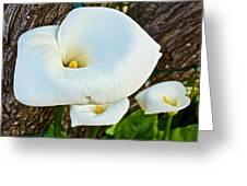 Calla Lily At Carmel Mission-california Greeting Card