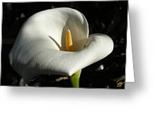 Calla Lily-santa Monica - 2005 Greeting Card