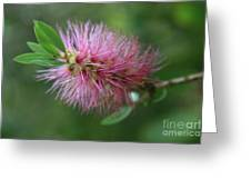 Callistemon Viminalis Taree Pink Weeping Bottlebrush Flowering Trees Of Hawaii Greeting Card