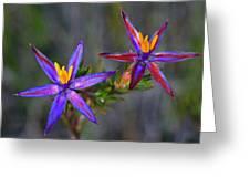 Calytrix 3a -starflower Greeting Card